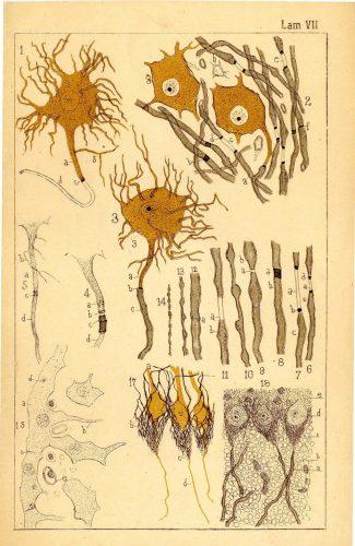 ilustraciones de la Revista Trimestral de Histología Normal y Patológica, publicada por Santiago Ramón y Cajal durante 1888 y 1889